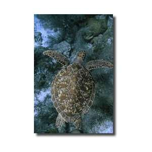 Green Sea Turtle Bonaire Island Netherlands Antilles West