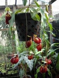 SEMI CARNIVORA Nepenthes (Nepenthes viking )